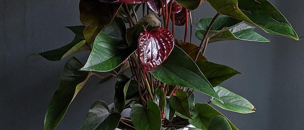 Bristols best houseplants. Cool indoor plants Bristol. Cool houseplants Bristol. Plant delivery Bristol