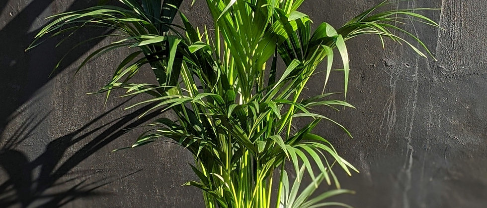 Beautiful and expensive indoor houseplant.  Best non-toxic plants in Bristol. Plants for interior design. Wild Leaf Bristol.
