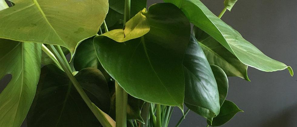 Monstera deliciosa Bristol. Indoor plant shop Bristol. Houseplant delivery Bristol. Plants Bristol. Plant Bristol.