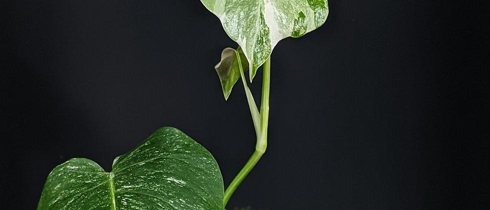 Monstera variegata 'C'
