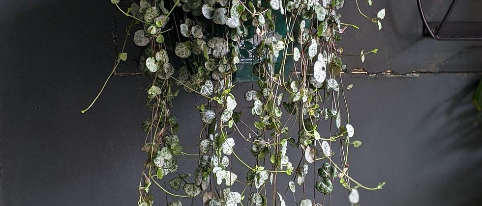Decorative house plants Bristol. Interior deisgns Bristol. Wild Leaf plant delivery Bristol. Plant gifts.