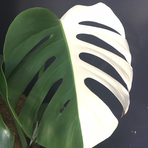 A fragile poet.  How to care for a variegated Monstera.