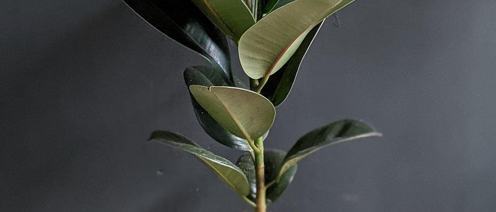 Ficus elastica - three varieties
