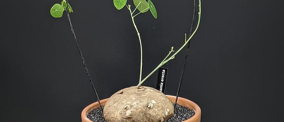 Stephania erecta in Terracotta