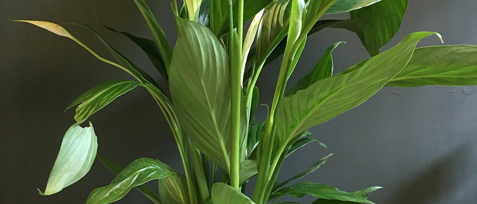 Indoor plant delivery Bristol. House plant delivery Bristol. Plant shop Bristol. Best plants Bristol.