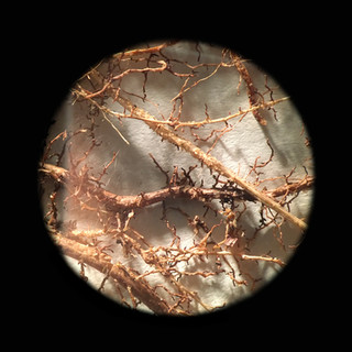 """Root study with camera lucida.  Inkjet photograph, 10"""" x 10"""", 2017"""