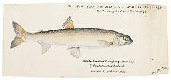FISH_ART_05_FreshwaterFishOfNZ_Grayling.