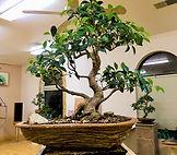 bonsai trees.jpg
