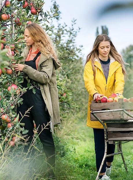Kızlar Elma Toplama