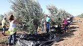 harvesting olives one day in israel.jpg