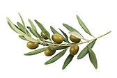 Olive branch with green olives on a whit