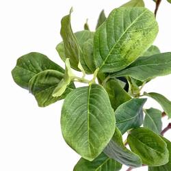 マグノリア葉