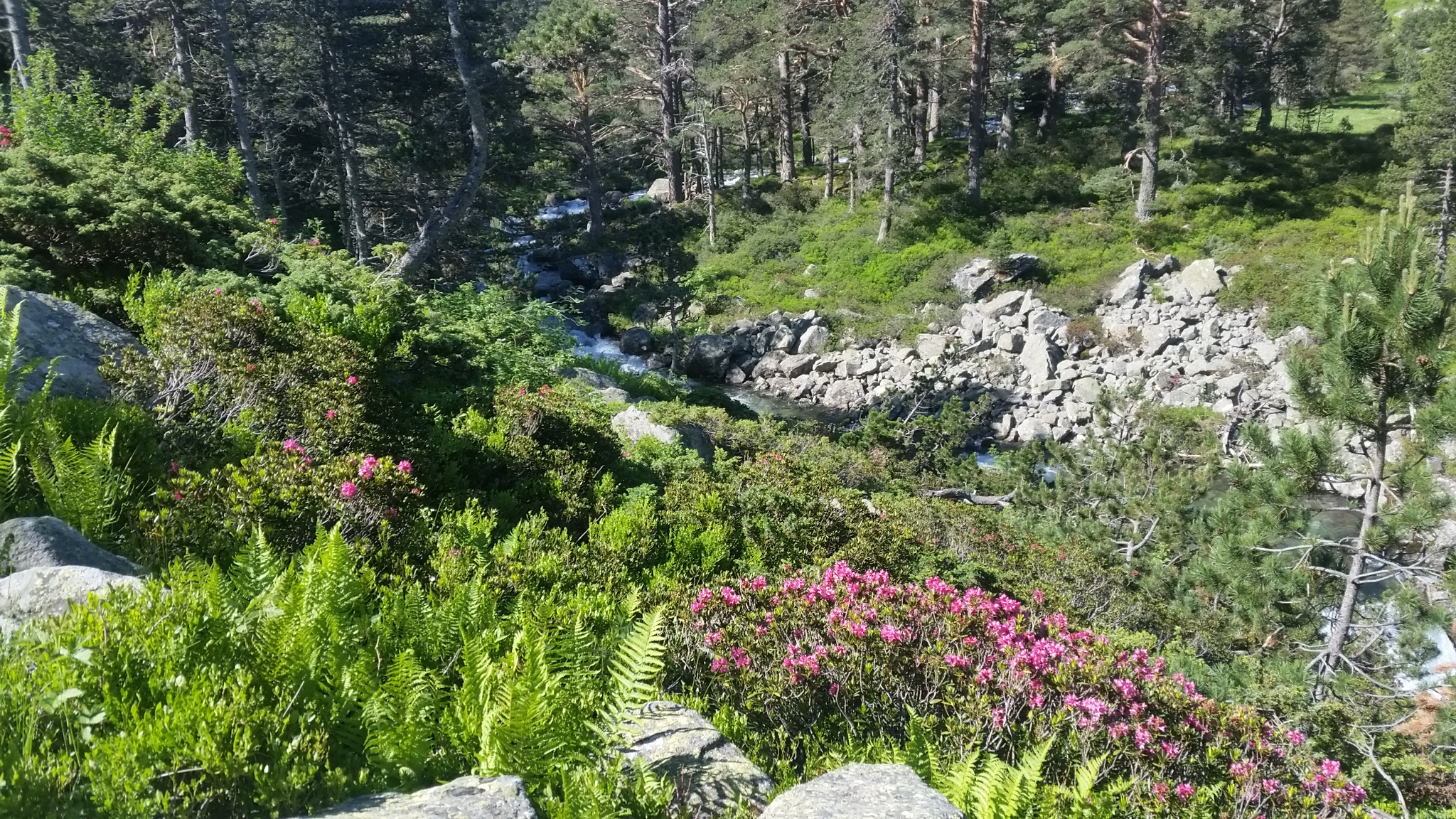 Rhododendrons, Pont d'Espagne