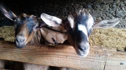 ピレネーの山羊ちゃんたち