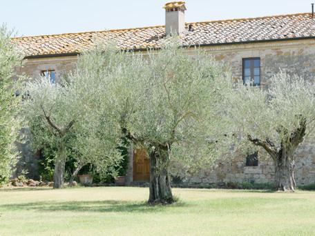 Mängder av olivträd pryder trädgården
