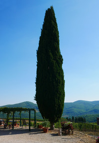 Cypressen står stadigt