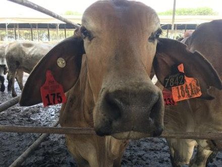 Feeder Steer Competition 2017