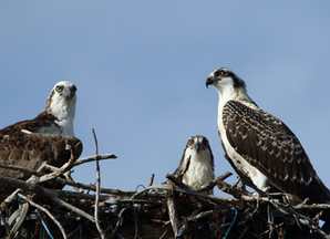 BGE's Osprey Watch Team Donates $10,000 Exelon Environmental Achievement Award to Local Wildlife Reh