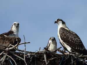 BGE's Osprey Watch Team Donates $10,000 Exelon Environmental Achievement Award to Local Wildlife Reh