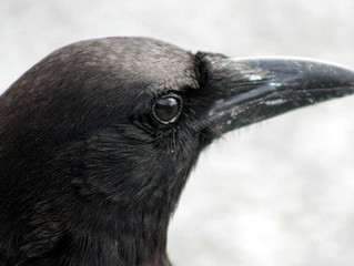 My Journey to the Crows