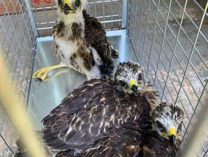Baby Hawk Rescue!