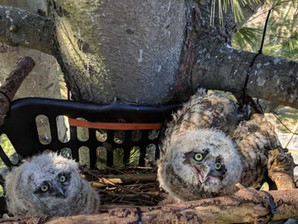 Phoenix Wildlife Center rescues owlets, builds new nest that reunites bird family
