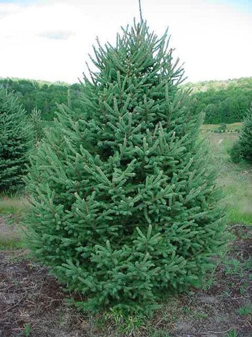 Spruce, White