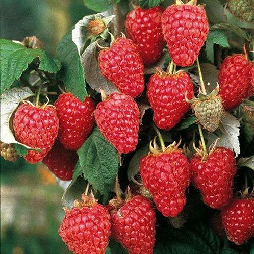 Raspberry, Red Mammoth