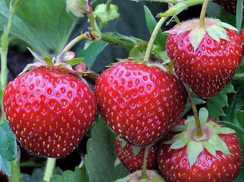 Strawberry, Earliglow