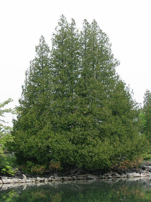 Cedar, Northern White