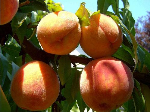 Peach, Suncrest