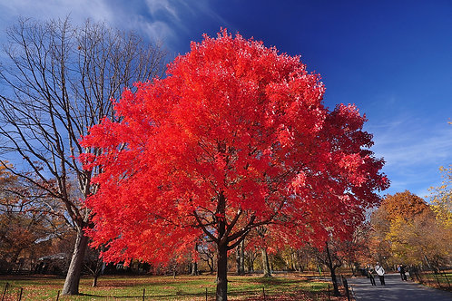 Maple, Red