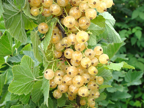 Currant, Imperial White