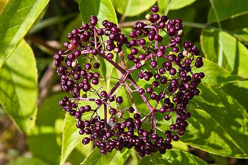 Elderberry, American
