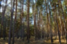 Trostloser Kiefern- Wirtschaftswald