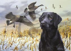 Sporting Dog Series Black Labrador