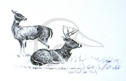 White Tailed Deer Study