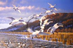 Late Season Swans