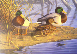 Northern Greenheads