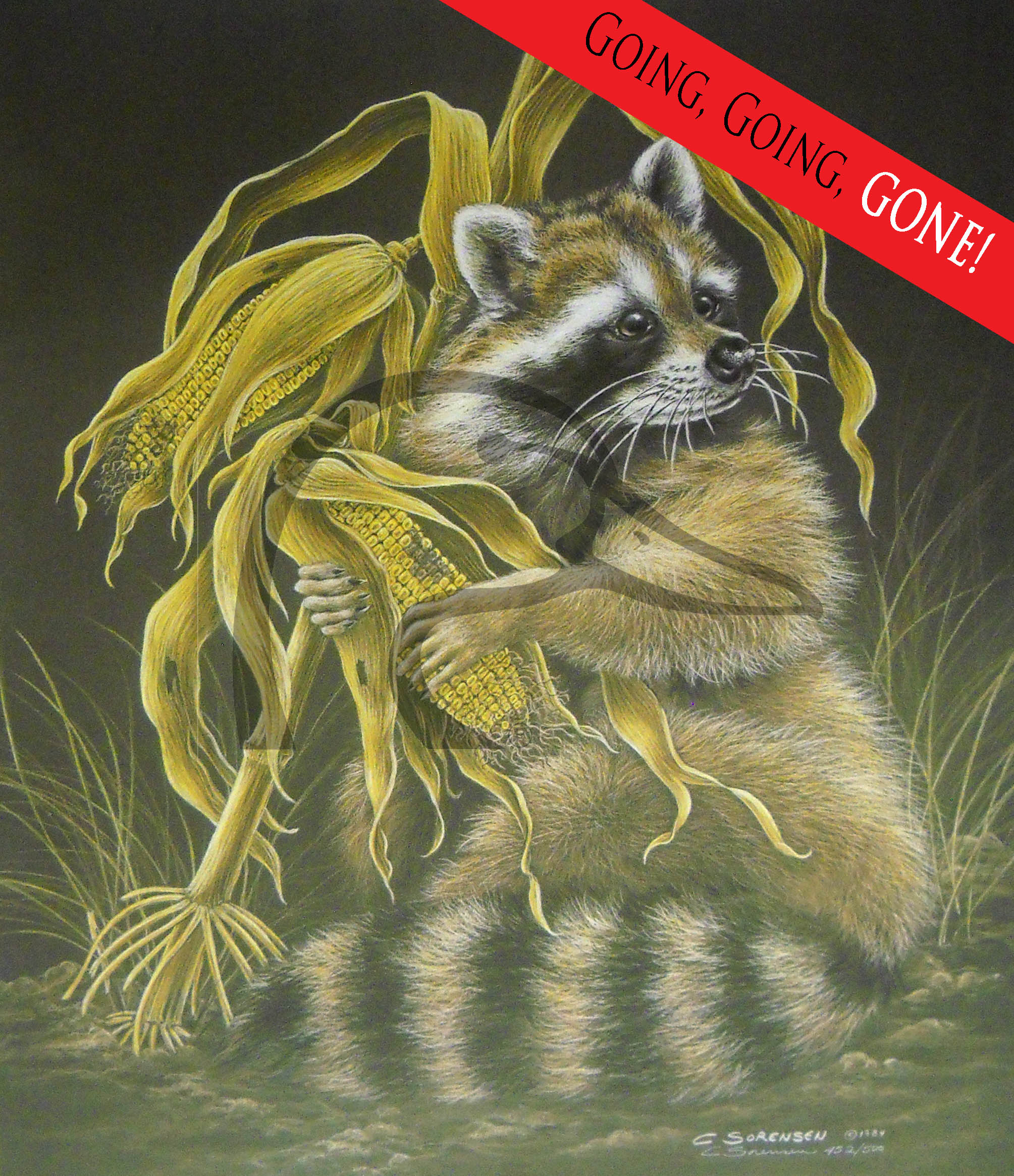 Raccoon and Corn