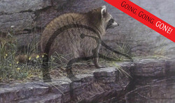 Distant Danger Raccoon