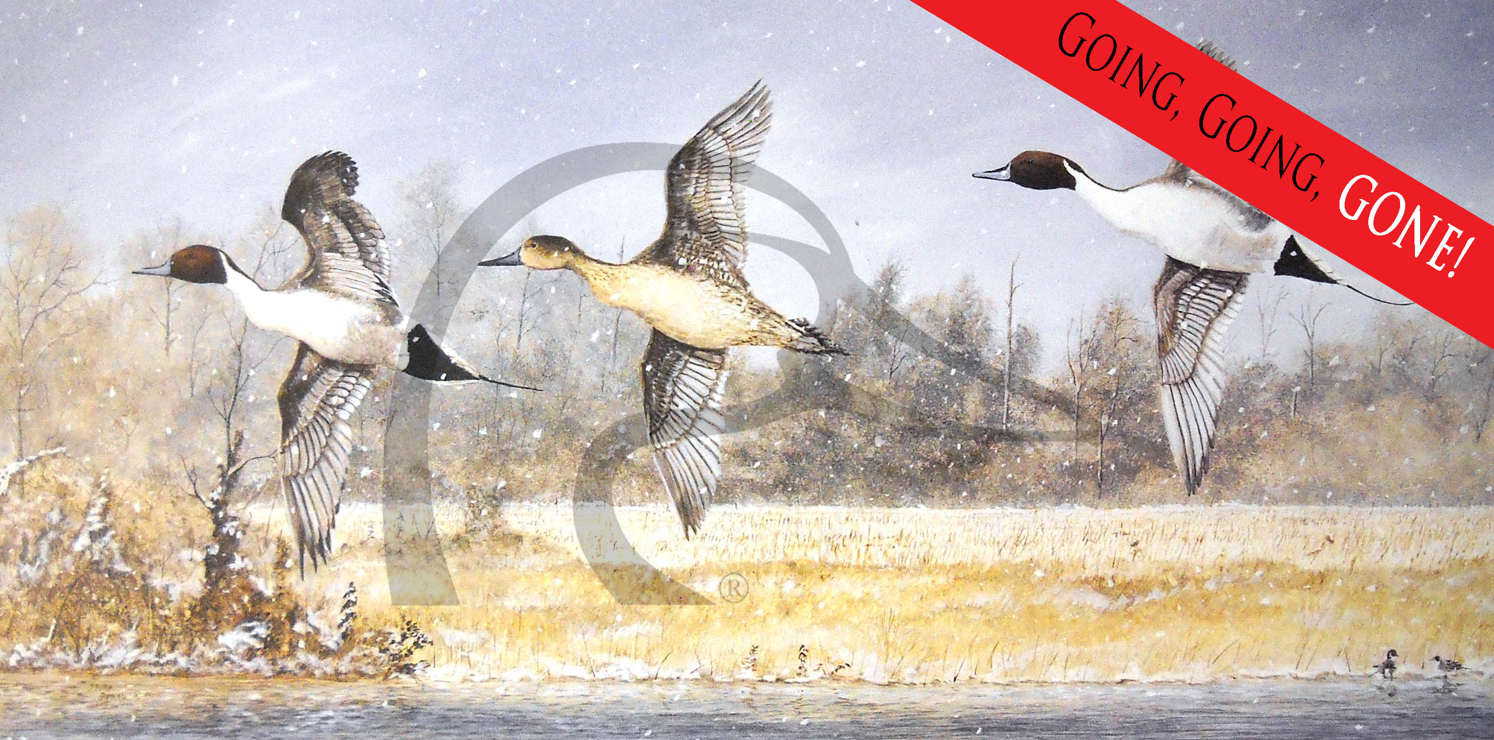 Sloughs Pintails