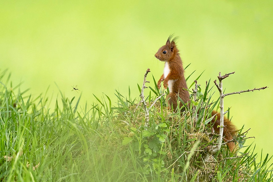 l'écureuil et la tipule