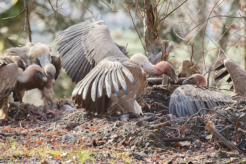 vautours fauves