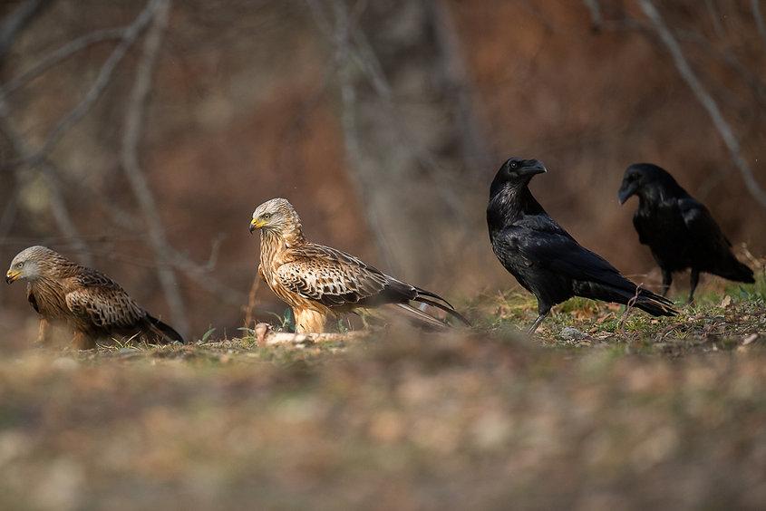 milans royaux et grands corbeaux