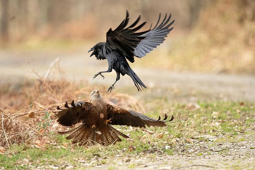 milan et grand corbeau