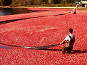 Cranberry-farming-on-cranberry-bog-tour-