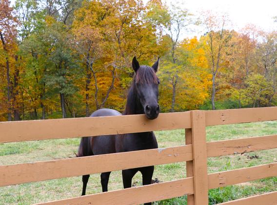 horse black.jpg