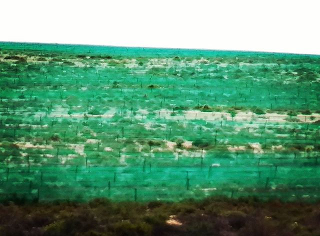 Rehabilitation on mined sands at Brand se Baai with green plastic netting. Photo: Sian Sullivan 060917.
