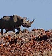 Black rhino Diceros bicornis bicornis (p
